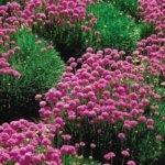 Армерия приморская - выращивание из семян в саду