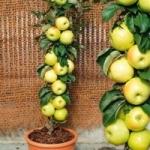 Яблоня колоновидная - посадка и уход