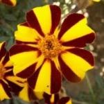 Бархатцы. Выращивание из семян в саду
