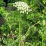 Трава болиголов и ее лечебные свойства
