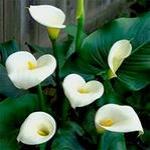 Каллы – посадка и уход за цветком
