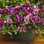 Виола ампельная - выращивание из семян на балконе