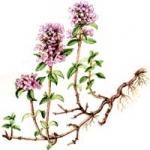 Трава чабрец. Лечебные свойства и противопоказания