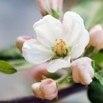 Обработка яблонь от вредителей весной