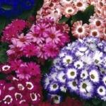 Цинерария. Выращивание из семян и виды