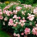 Роза Флорибунда, её сорта
