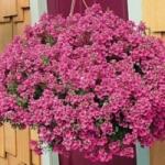 Диасция - выращивание из семян, фото цветка