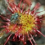 Росянка круглолистная - фото и видео растения