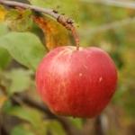 Посадка яблони в Сибири