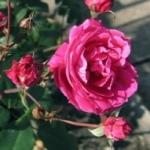 Парковая роза и ее сорта