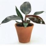 Филодендрон - уход за цветком в домашних условиях