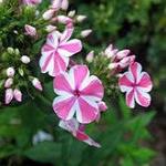 Флоксы - посадка и уход за цветком