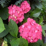 Гортензия - посадка и уход за растением
