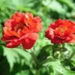 Гравилат - выращивание из семян на клумбе