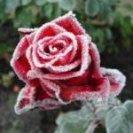 Каким должен быть уход за розами после зимы