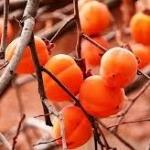 Хурма - выращивание в домашних условиях, как вырастить хурму из косточки