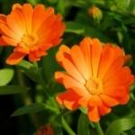 Полезная календула - выращивание из семян и особенности культуры