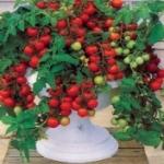 Как вырастить на балконе помидоры и получить урожай