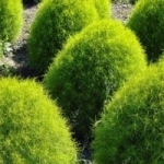Кохия - выращивание из семян, фото растения