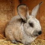 Выращивание кроликов в домашних условиях; разведение, выращивание и кормление кр