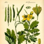 Чистотел - полезные свойства и противопоказания, народное лечение чистотелом