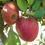 Летние сорта яблонь (яблок)