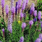 Лиатрис - посадка и уход за цветком