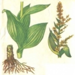 Трава кукольник. Польза и опасность использования