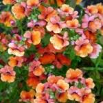 Немезия - выращивание из семян, фото цветка