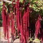 Выращивание амаранта из семян