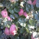 Осенние сорта яблонь (яблок)