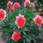 Древовидный пион – посадка и уход за цветком