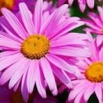 Пиретрум - выращивание из семян и уход