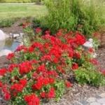 Почвопокровные розы и методика их выращивания