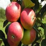 Прекрасная яблоня