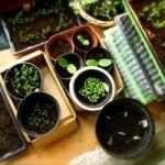 Как рассчитать сроки посева семян на рассаду