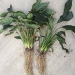 Как правильно выполнять разделение куста (корня) растений