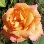 Яркая роза парковая - Реми Мартин