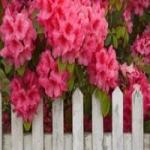 Рододендрон -  посадка и уход за растением