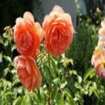 Розы – посадка и уход