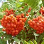 Рябина обыкновенная - полезные свойства, плоды, описание