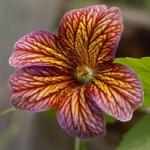 Сальпиглоссис - выращивание из семян, фото цветка