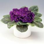 Сенполия - уход в домашних условиях, фото цветка