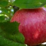 Яблоня медуница - описание сорта