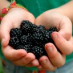 Шелковица черная - полезные свойства