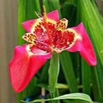 Тигридия -  посадка и уход за цветком
