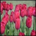 Тюльпаны – посадка и уход за цветком