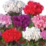 Цикламен - уход в домашних условиях, фото цветка