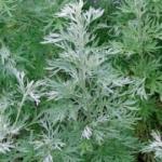 Трава полынь  и ее лекарственные свойства