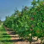 Как определить  расстояние между яблонями при посадке